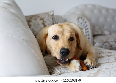 labrador sitting on couch