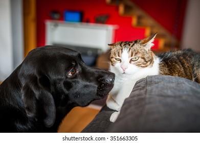 A Labrador sniffing a unhappy cat