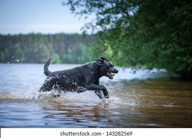 Labrador swimming in the water