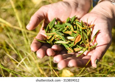 Labrador tea leaves held in outstretched hands.