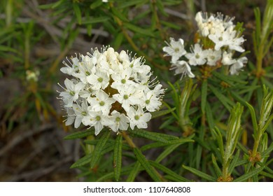 Labrador tea marsh (L. Lédum palústre) flowers in the tundra in June