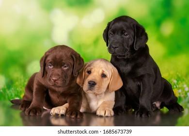 Labrador Pup Black Images Stock Photos Vectors Shutterstock