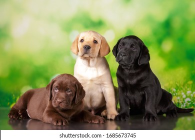 labrador three colour puppies black brown and yellow together