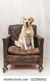Labrador in vintage chair
