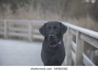 Labrador in winter time
