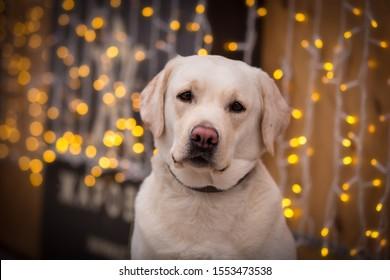 labrador in winter yellow lab retriever with christmas lights bokeh