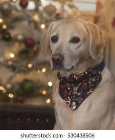 labradors at christmas