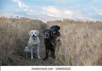 labradors in the early morning light