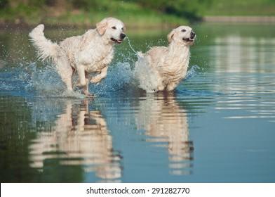 Labradors running on water