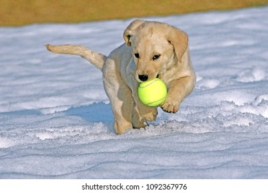 Labrdor Retriever puppy playing with ball in snow