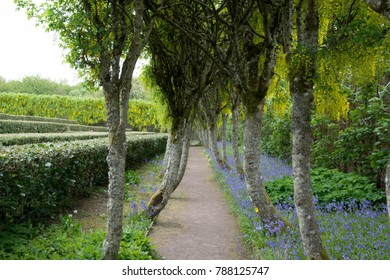 Laburnum Arch next to a bed of bluebells