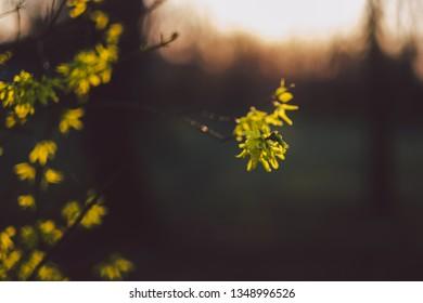 Laburnum bush blossoms
