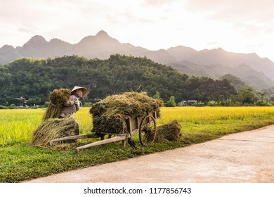 Lac Village, Mai Chau valley, Vietnam - October 18, 2016. Woman working in the rice fields near Lac Village, Mai Chau valley, Vietnam. Beautiful fall sunset during harvest time, wooden cart in front.