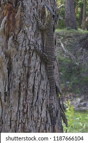 Lace monitor or goanna tries to hide and blend in with a tree in the bush