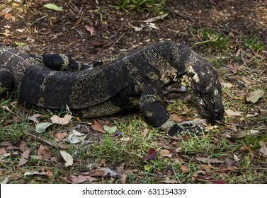 Lace Monitor Lizard. Large reptile with arched back in aggressive posture.