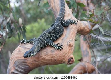 Lace Monitor or Tree Goanna