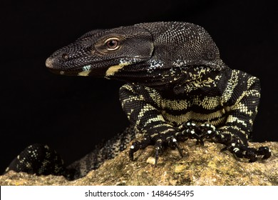 Lace monitor (Varanus varius) is a giant lizard species from Australia