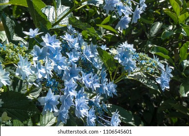 lacecap hydrangeas flower in june