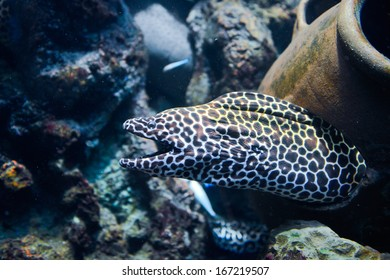 Laced moray (Gymnothorax favagineus) in the coral reef