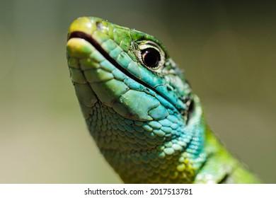 Lacerta bilineata oris in macro in nature - Shutterstock ID 2017513781