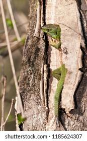 Lacerta bilineata (Western green lizard)