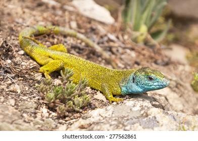 Lacerta viridis (European green lizard), Vineyard Sobes, South Moravia, Czech Republic - Shutterstock ID 277562861