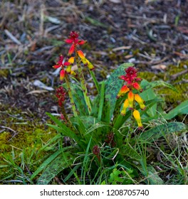 Tubular flowers images stock photos vectors shutterstock lachenalia aloides opal flower a species of flowering bulbous perennial plant in the family mightylinksfo