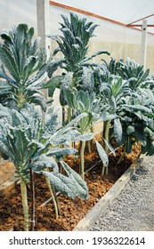 Lacinato kale with dark blue-green leaves