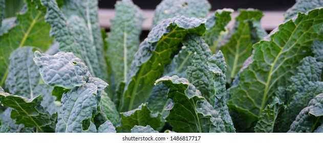 Lacinato kale leaves close up in the vegetable garden. It is also known as Tuscan kale, Tuscan cabbage, Italian kale, dinosaur kale, flat back cabbage, or black Tuscan palm.