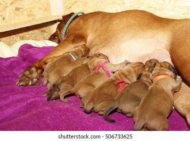 Lactating dog female - Dogue de Bordeaux - One day old puppies