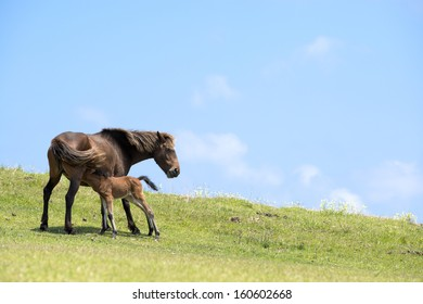Lactating wild mare with foal on the green hillside under blue sky