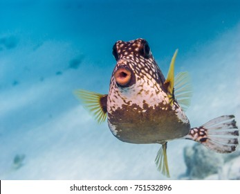 Lactophrys triqueter also known as the smooth trunkfish, is a species of boxfish found on and near reefs in the Caribbean Sea