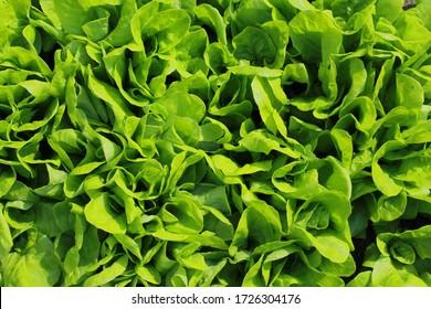 Lactuca sativa. Fresh raw salad.
