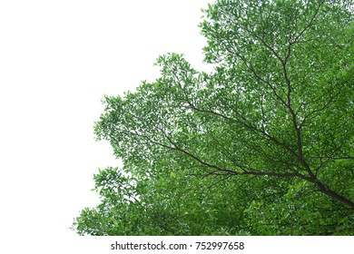 Lacy green tree leafs and branches, isolated with clipping path.