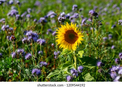 lacy phacelia (Phacelia tanacetifolia) and a sunflower