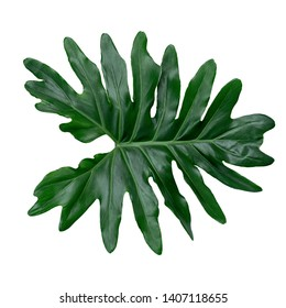 Lacy tree philodendron or selloum isolated on white background. Natural green leaves Philodendron bipinnatifidum.