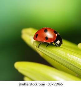 ladibug on petal