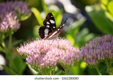 Ladoga camilla on Sedum spectabile Flower