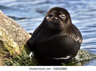 The Ladoga ringed seal ( Pusa hispida ladogensis)  close up. The Ladoga seal in a native habitat
