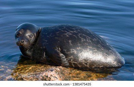 The Ladoga ringed seal resting on a stone. Scientific name: Pusa hispida ladogensis. The Ladoga seal in a natural habitat. Ladoga Lake. Russia