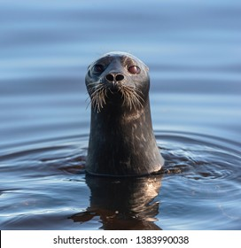 The Ladoga ringed seal swimming in the water. Blue water background.  Scientific name: Pusa hispida ladogensis. The Ladoga seal in a natural habitat. Summer season. Ladoga Lake. Russia
