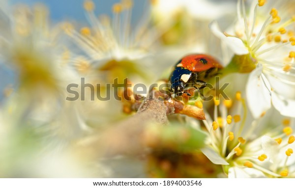 lady-beetle-cherry-blossoms-600w-1894003