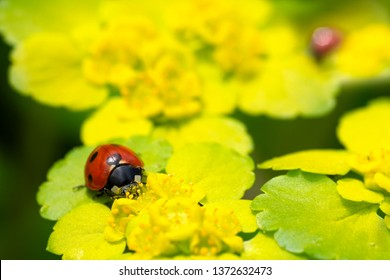Lady beetle (Ladybug, Ladybird) on a yellow spring flower (Alternate leaved golden saxifrage)