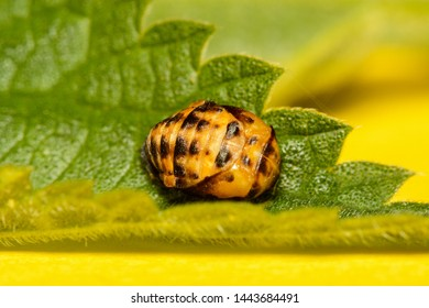A Lady beetle Pupa in the Family Coccinellidae on a leaf in Kent,UK in the Summer