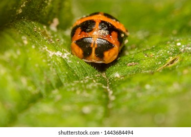 A Lady Beetle Pupa in the Family Coccinellidae on a leaf in England, UK.