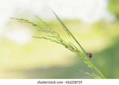 Lady bug on a leaf of ryegrass in spring.