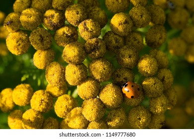 Lady bug on a yellow floral weed.