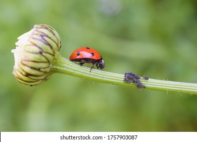 Lady bug as a plant louse predator, biological protection.