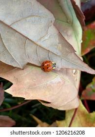 Lady bug sitting on the back of a fallen leaf.