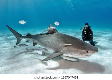 Lady Diver with Tiger Shark